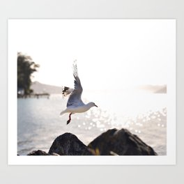 Seagull takes flight over Dunedin's MacAndrew Bay Art Print