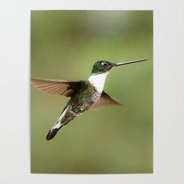 Collard Inca Hummingbird in Green Poster