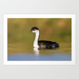 Early morning Western Grebe Art Print
