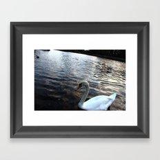 Swan in Lake Framed Art Print