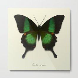 Papilio arcturus Metal Print
