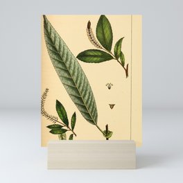 Long leaved Willow, salix speciosa Redoute Roses 3 Mini Art Print