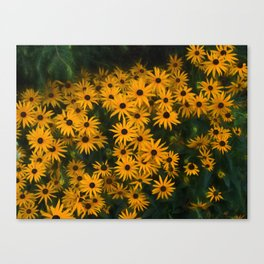 Brown eyed Susans Canvas Print