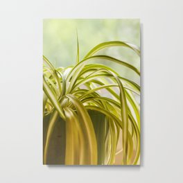 Chlorophytum, indoor potted plant, close up - image Metal Print