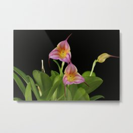 Masdevallia Lollipop Metal Print