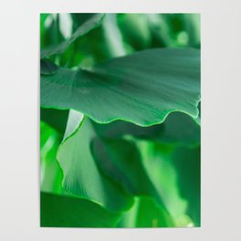 Ginkgo biloba leaves Poster