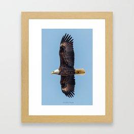 Soaring Bald Eagle in May Framed Art Print