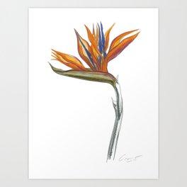 Bird of Paradise 01 Botanical Flower Art Print
