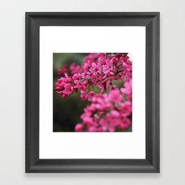 Crap Apple Blossoms Framed Art Print