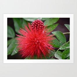 Powderpuff Plant Art Print