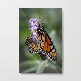 Monarch Danaus Plexippus Metal Print