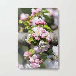 Blooming of the apple tree Metal Print