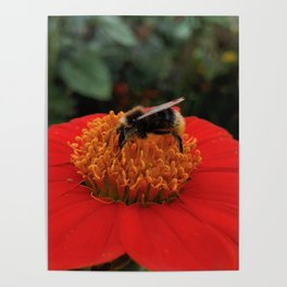 Bee on Mexican Sunflower Poster
