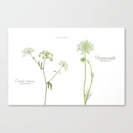 Water Hemlock and Queen Anne's Lace Canvas Print