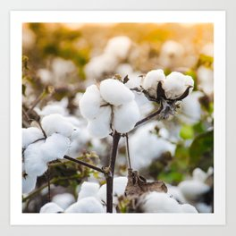 Cotton Field 4 Art Print