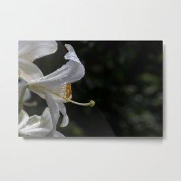 Raindrops on lily flower Metal Print