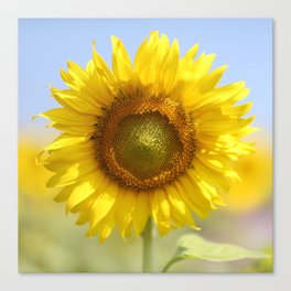 Sunflower - Flower, Floral, Nature Photography Canvas Print