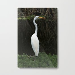 Great Heron Standing in Shallow Water Metal Print