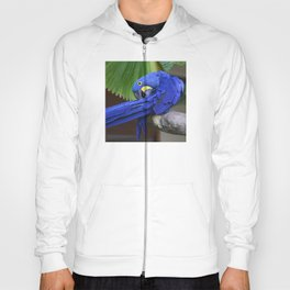 A Hyacinth Macaw Preening Its Feathers Hoody