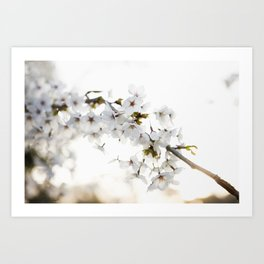 Cherry Tree Blossoms Art Print