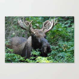 Moose in Underbrush Canvas Print