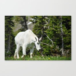 My Friend The Mountain Goat Canvas Print