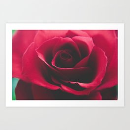 Close up red rose  Art Print