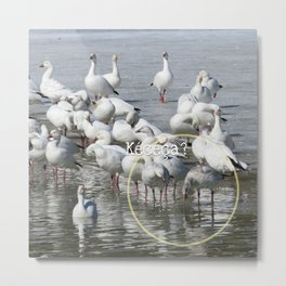 Les Oies Blanches : Kécéça ? - The White Geese : What's this? Metal Print