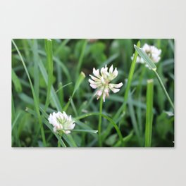 Unbloomed Lily Canvas Print