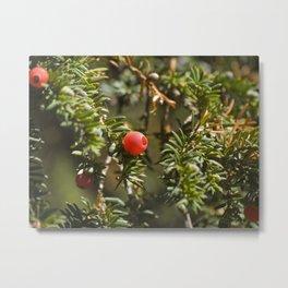 Yew berries Metal Print
