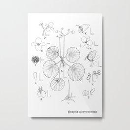 Begonia caramoanensis by Yu Pin Ang Metal Print