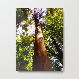 How High does the Sycamore Grow? Metal Print