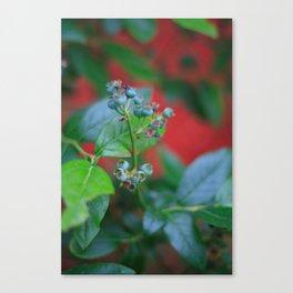 Pre-ripe Blueberries Canvas Print