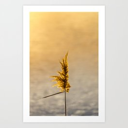 Reed tip in Camargue Art Print