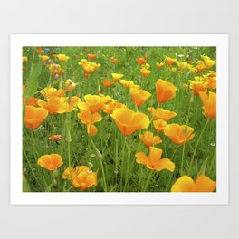 california poppy VI Art Print