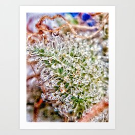 Skywalker OG Kush Strain Frosty Buds Calyxes Trichomes Close Up View Art Print