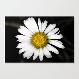 White daisy floating in the dark #3 Canvas Print