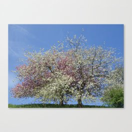 Pink and White Blossom - Blue Sky Canvas Print