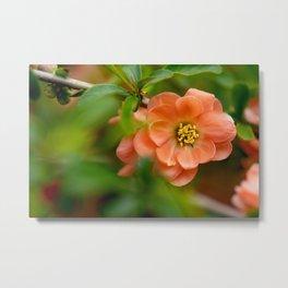 Coral Flowering Quince Bloom Metal Print