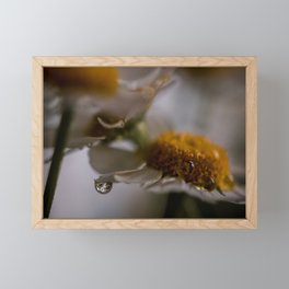daisy flower with drops | nature photography Framed Mini Art Print