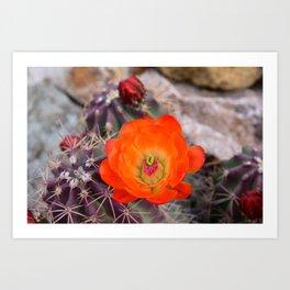 Trichocereus Cactus Flower  Art Print