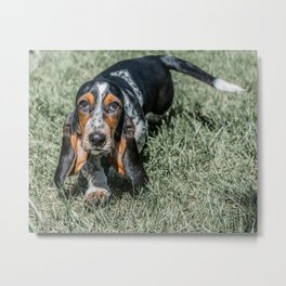 Basset Hound Puppy Droopy Ears Walking in Green Grass Cute Adorable Dog Photography Metal Print