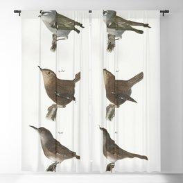 84 The Mocking-bird (Orpheus polyglottus) 85 The Cat-bird (Orpheus carolinensis) 86 The Wood Thrush Blackout Curtain