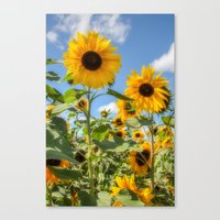 sunflowers Canvas Prints featuring Sunflowers by David Tinsley