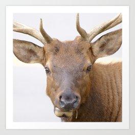 Watercolor Elk Bull 04, Estes Park, Colorado, Quizzical Art Print