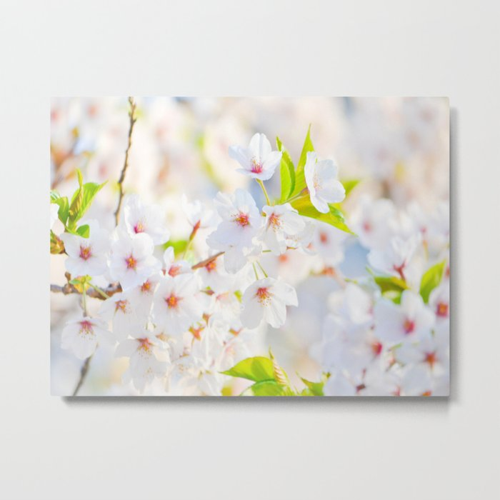 Beautiful White Blossoms In The Spring Sunlight Metal Print