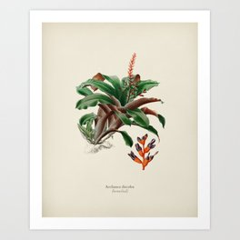 Bromeliad (Aechmea discolor) illustrated by Charles Dessalines D' Orbigny (1806-1876) 2 Art Print