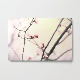 Apricot flowering. Spring flowers Flowering tree Metal Print