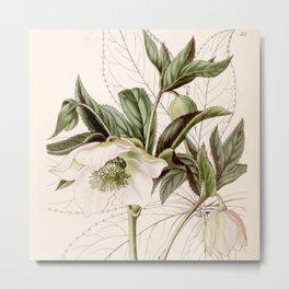 Helleborus orientalis Metal Print