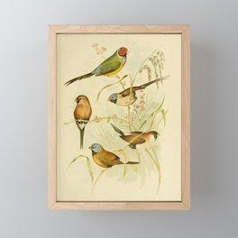 Vintage Print - The Birds of Australia (1891) - Grass Finches Framed Mini Art Print